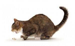 рвота у кошек может иметь множество причин