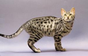 египетская мау: кошка из земли фараонов