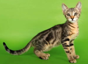 Порода кошек Сококе (Sokoke)